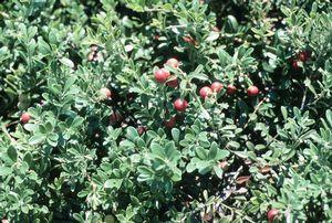 Arctostaphylos uva-ursi 'Massachusetts Hybrid'-#1 Container<br/>Massachusetts Hybrid Kinnickinnick, Bearberry