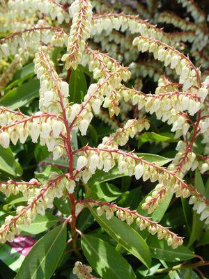 Pieris japonica 'Brouwers Beauty'-#10 Container<br/>Brouwers Beauty Andromeda
