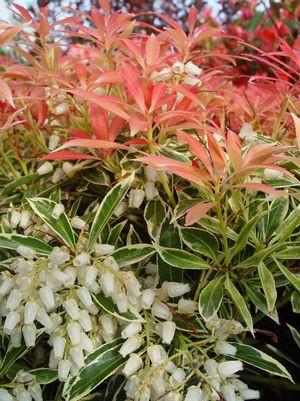 Pieris japonica 'Flaming Silver'-#3 Container<br/>Flaming Silver Andromeda