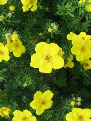 Potentilla fruticosa 'Gold Finger'-#3 Container<br/>Gold Finger Cinquefoil