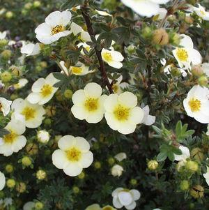 Potentilla fruticosa 'Primrose Beauty'-#3 Container<br/>Primrose Beauty Cinquefoil