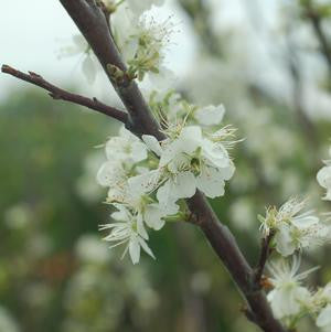 Prunus maritima-#2 Container<br/>Beach Plum