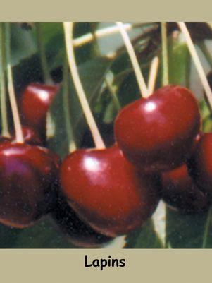 Prunus X 'Lapins'-#7 Container<br/>Lapins Sweet Dark Cherry