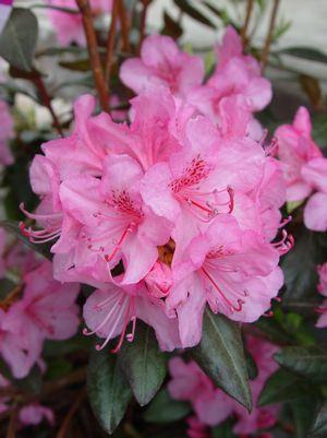 Rhododendron 'Aglo'-#5 Container<br/>Aglo Rhododendron