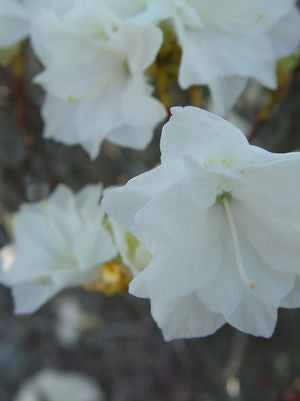 Rhododendron X 'April Snow'-#3 Container<br/>April Snow Rhododendron