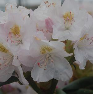 Rhododendron catawbiense 'Album'-#3 Container<br/>Album Rhododendron