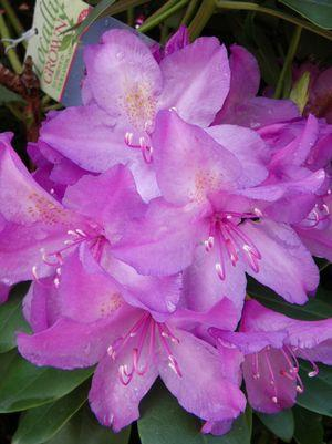 Rhododendron catawbiense 'Boursault'-#10 Container<br/>Boursault Rhododendron