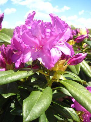 Rhododendron 'Purple Passion'-#5 Container<br/>Purple Passion Rhododendron