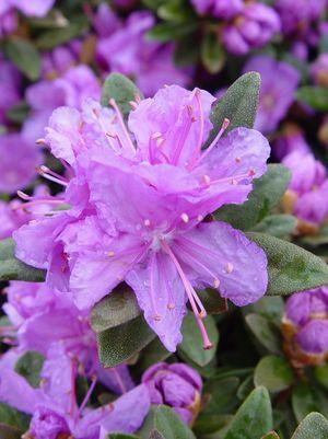 Rhododendron X 'Purple Gem'-#3 Container<br/>Purple Gem Rhododendron