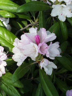 Rhododendron yakushimanum 'Princess'-#2 Container<br/>Yaku Princess Rhododendron