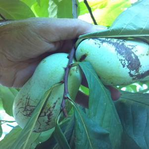 Asimina triloba-#3 Container<br/>Pawpaw