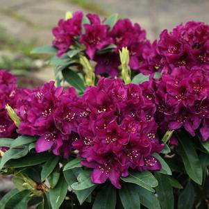 Rhododendron 'Polarnacht'-#2 Container<br/>Polar Night Rhododendron