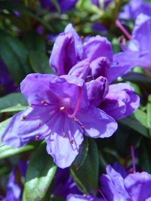 Rhododendron 'Blue Baron' - 5 Gal.