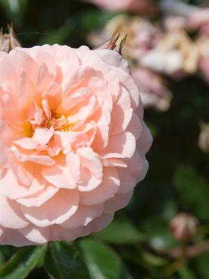 Rose 'Apricot Drift®' - #2