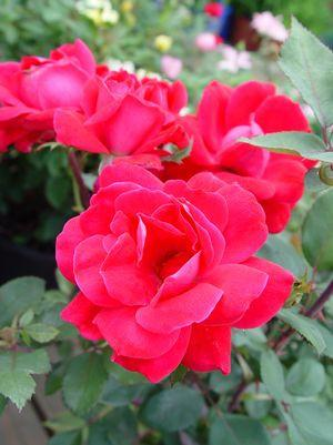 Rosa Knockout-#3 Container<br/>Knockout Rose