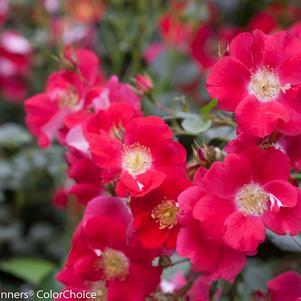 Rosa Oso Easy&#174; 'Cherry Pie'-#2 Container<br/>Oso Easy? Cherry Pie Rose