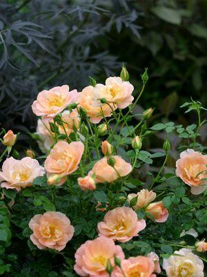 Rosa Oso Easy&#174; 'Peachy Cream'-#2 Container<br/>Oso Easy? Peachy Cream Rose