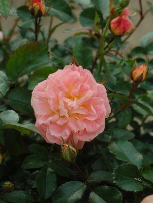 Rosa 'Peach Drift'-#2 Container<br />Peach Drift Rose