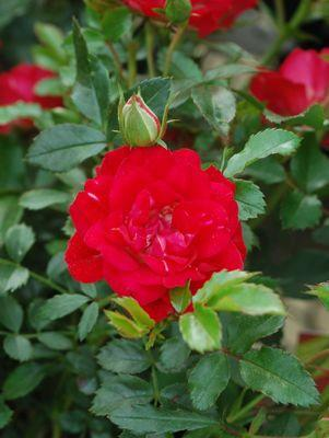 Rosa 'Red Drift'-#2 Container<br />Red Drift? Rose