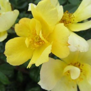 Rosa 'Sunny Knockout'-#3 Container<br/>Sunny Knockout Rose