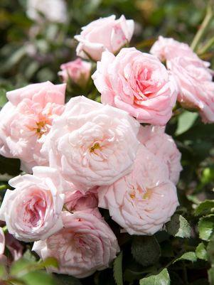 Rosa 'Sweet Drift'-#2 Container<br />Sweet Drift Rose