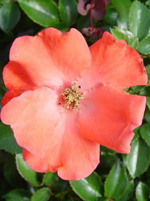 Rosa Flower Carpet 'Coral'-#2 Container<br/>Coral Flower Carpet Rose