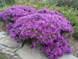 Aster novae-angliae 'Purple Dome'-#2 Container<br/>Purple Dome Aster
