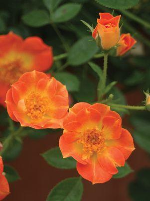 Rosa Oso Easy&#174; 'Paprika'-#2 Container<br/>Oso Easy Paprika Rose