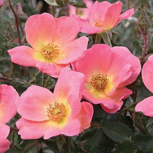 Rosa 'Rainbow Knock Out'-#3 Container<br/>Rainbow Knockout Rose