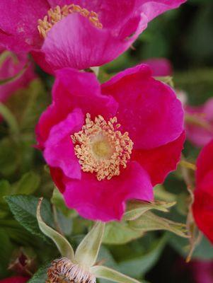 Rosa rugosa-#3 Container<br/>Rugosa Rose