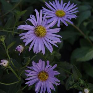 Aster dumosus 'Woods Blue'-#2 Container<br/>Woods Blue Aster