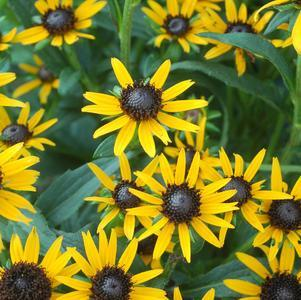 Rudbeckia 'Little Goldstar'-8`` Container<br/>Black Eyed Susan