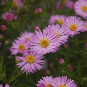 Aster dumosus 'Woods Pink'-#2 Container<br/>Woods Pink Aster
