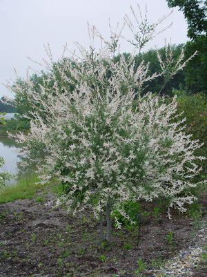 Salix integra 'Hakaro Nishiki'-#3 Container<br/>Japanese Willow