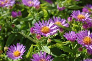 Aster dumosus 'Woods Purple'-#2 Container<br/>Woods Purple Aster
