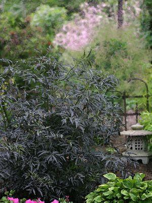 Sambucus nigra 'Black Lace'-#2 Container<br/>Black Lace Elderberry