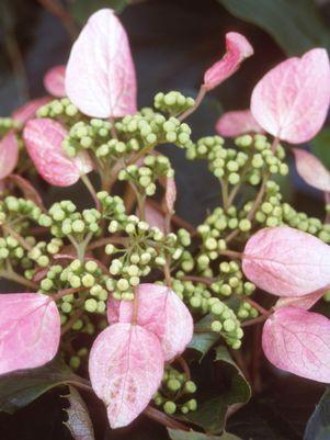 Schizophragma hydrangeoides 'Roseum'-#2 Container<br/>Pink False Hydrangea
