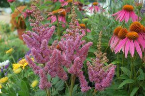 Astilbe chinensis 'Visions'-#2 Container<br/>Visions Chinese Astilbe