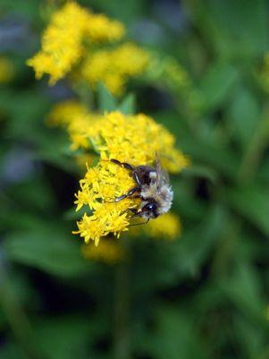 Solidago rugosa 'Fireworks'-#2 Container<br/>Fireworks Goldenrod
