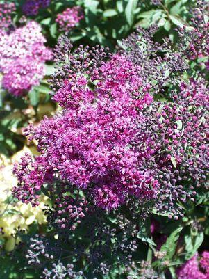 Spiraea bumalda 'Anthony Waterer'-#3 Container<br/>Anthony Waterer Spirea