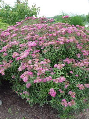 Spiraea bumalda X 'Neon Flash'-#3 Container<br/>Neon Flash Spirea