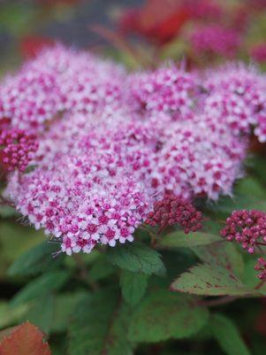 Spiraea Double Play 'Big Bang'-#3 Container<br/>Double Play? Big Bang Spirea