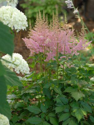 Astilbe chinensis 'Visions In Pink'-#1 Container<br/>Visions in Pink Astilbe