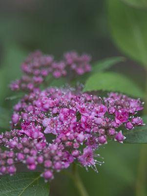 Spiraea japonica Double Play 'Artisan'-#3 Container<br/>Double Play? Artisan? Spirea