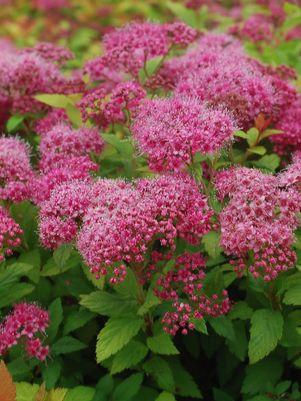 Spiraea japonica 'Magic Carpet'-#5 Container<br/>Magic Carpet Spiraea