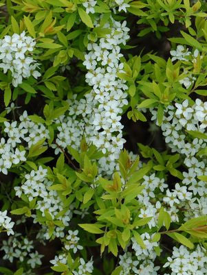 Spiraea thunbergii 'Ogon'-#3 Container<br/>Mellow Yellow
