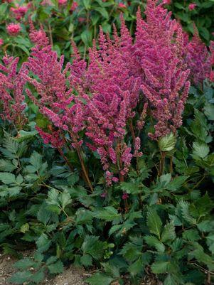 Astilbe chinensis 'Visions In Red'-#1 Container<br/>Visions in Red Astilbe