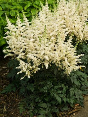 Astilbe chinensis 'Visions In White'-#1 Container<br/>Visons in White Chinese Astilbe