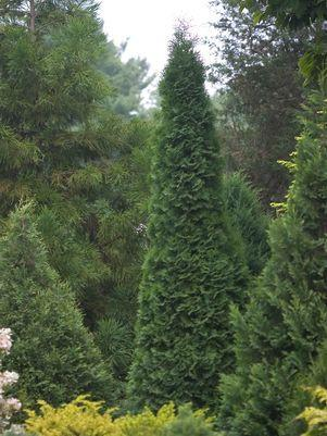 Thuja occidentalis 'North Pole'-#3 Container<br/>North Pole Arvorvitae