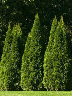Thuja occidentalis 'Smargd'-#2 Container<br/>Emerald Green Arborvitae